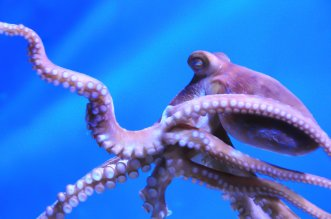 The octopus | © Suhentu | Dreamstime Stock Photos